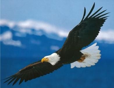 aguia-americana-4